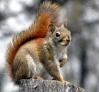 Delle 680 estinzioni animali conosciute, circa il 20% sono da imputarsi alle specie aliene invasive... e tra queste c'è anche lo scoiattolo