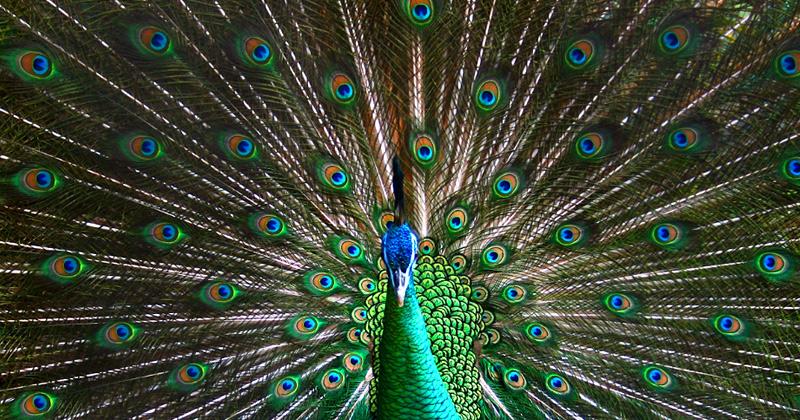 Il simbolismo del pavone vanit superbia e non solo - Immagini pavone a colori ...