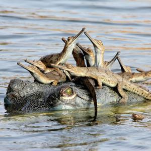 Per quanto feroci possano sembrare da adulti, i coccodrilli sono tra i migliori genitori in natura.