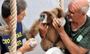 Il gibbone dalle mani bianche ritrovato mentre si aggirava per le strade di Milano nell'estate del 2012