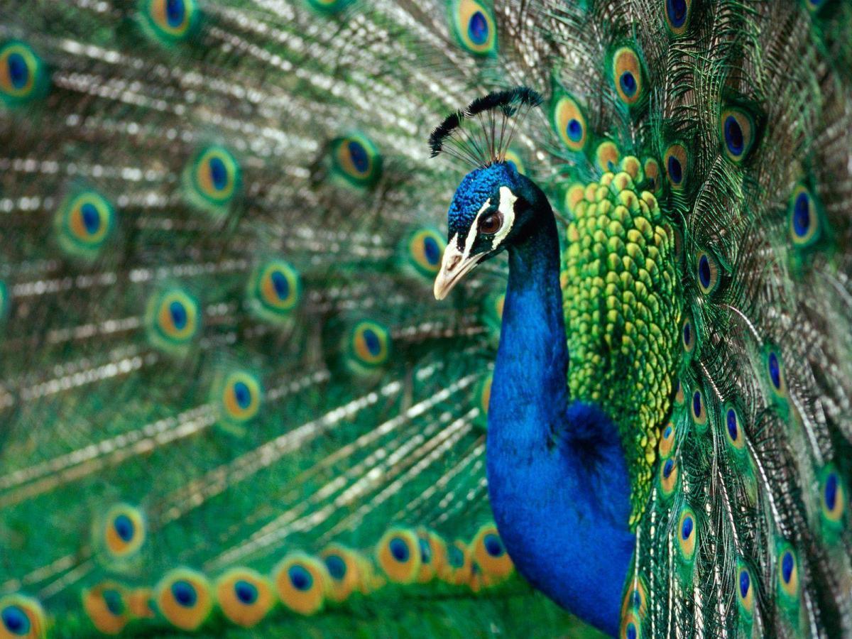 Il simbolismo del pavone: vanità, superbia e non solo