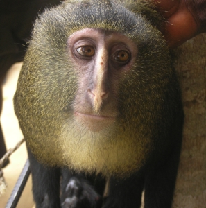 la scimmia lesula