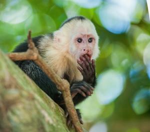 capuchin monkey envy