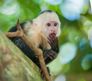 capuchin monkey envy