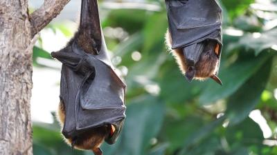 pipistrelli habitat