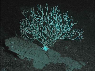 corallo abissi