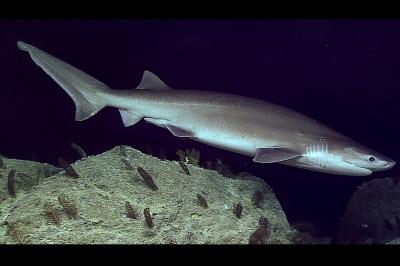 squalo capopiatto